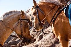 пони лошади Стоковое Фото