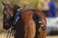 Пони лошади поло Стоковые Изображения
