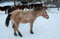 Пони лошади Kiso Стоковые Изображения