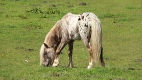Пони пасет и ослабляет на зеленых полях стоковое изображение rf