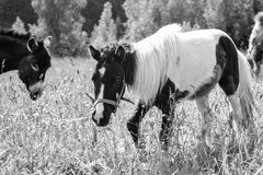 Пони пася в маневрах Стоковое Фото