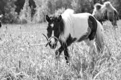 Пони пася в маневрах Стоковая Фотография