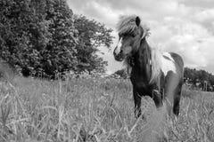 Пони пася в маневрах Стоковое Изображение RF