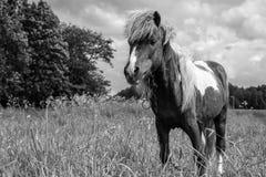 Пони пася в маневрах Стоковое Изображение