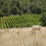 Пони пася в поле Франции Стоковые Фотографии RF