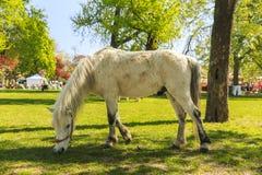 Пони пася в саде Будапешта Стоковое Фото