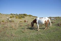 Пони пася на вересковой пустоши Англии Великобритании Стоковое фото RF