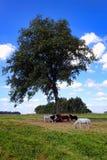 Пони пася под деревом в сельском поле обрабатываемой земли Стоковая Фотография