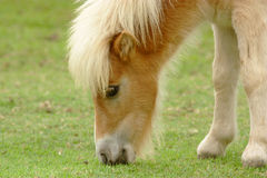 Пони пася траву на лужайке Стоковое фото RF