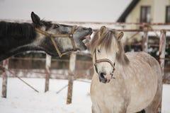 Пони серого пони атакуя белый Стоковые Фотографии RF