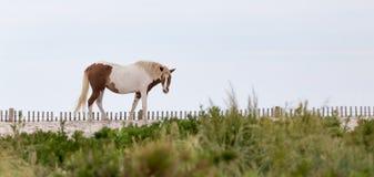 Пони Assateague одичалый на пляже Стоковое Фото