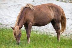 Пони Assateague одичалый Стоковая Фотография