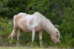 Пони Assateague одичалый Стоковые Изображения
