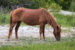 Пони Assateague одичалый Стоковое Фото