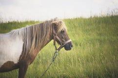 Пони (caballus ferus Equus) в поле Стоковое Изображение RF