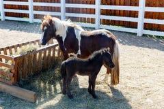 Пони dartmoor матери и осленка & x28; Caballus& x29 ferus Equus; пасите дальше стоковое изображение