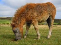Пони Dartmoor пася Стоковое Изображение RF