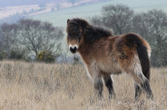 Пони Exmoor Стоковая Фотография RF
