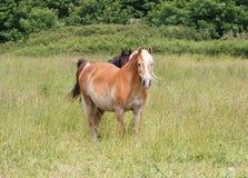 Пони Haflinger в поле Стоковая Фотография RF