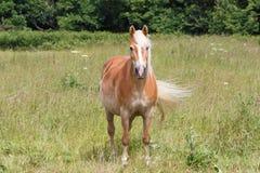 Пони Haflinger в поле Стоковая Фотография