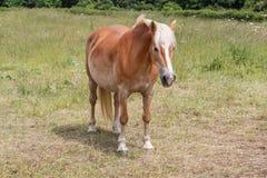 Пони Haflinger в поле Стоковые Фотографии RF
