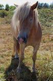 Пони Haflinger в поле Стоковое Изображение RF