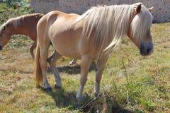 Пони Haflinger в поле Стоковое Фото