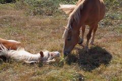 Пони Haflinger в поле Стоковые Изображения