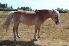Пони Haflinger в поле Стоковое Изображение