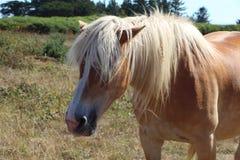 Пони Haflinger в поле Стоковые Фото
