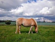 Пони Haflinger Стоковая Фотография RF