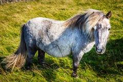 Пони Shetland на Шотландии, островах Shetland стоковая фотография rf