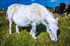 Пони Shetland на Шотландии, островах Shetland стоковые фотографии rf
