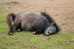 Пони Shetland Стоковая Фотография