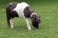 Пони Shetland Стоковое фото RF