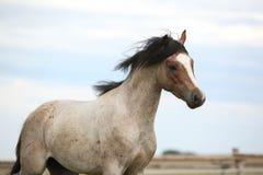 Пони Welsh бежать на pasturage Стоковые Фотографии RF