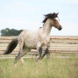Пони Welsh бежать на pasturage Стоковая Фотография RF