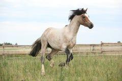 Пони Welsh бежать на pasturage Стоковые Изображения