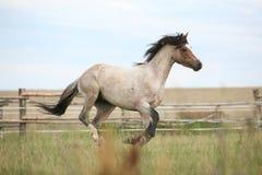 Пони Welsh бежать на pasturage Стоковое Изображение