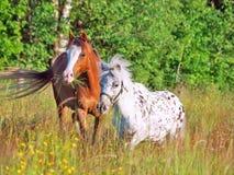 Пони Welsh и мини Appaloosa в поле Стоковые Изображения