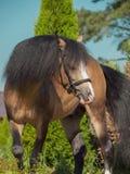 Пони welsh лосиной кожи в движении Стоковые Изображения RF