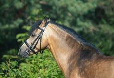 Пони welsh лосиной кожи представляя на предпосылке деревьев Стоковое фото RF