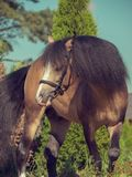 Пони welsh лосиной кожи в движении Стоковые Фотографии RF