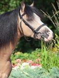 Пони welsh лосиной кожи представляя на предпосылке цветка Стоковые Изображения