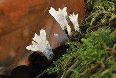 понюшка грибков свечки Стоковая Фотография RF