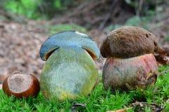 Поперечное сечение гриба bolete Scarletina Стоковое Изображение