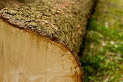 Поперечное сечение дерева Стоковая Фотография RF