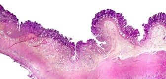 Поперечное сечение живота Светлый микрорисунок показывая эпителий живота стоковое фото