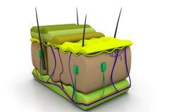 Поперечное сечение кожи Стоковое фото RF
