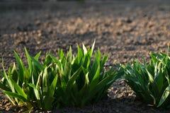 Поперечное сечение лужайки показывая на уровне земли травинок стоковое изображение